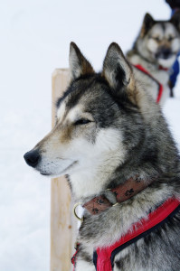 stockvault-close-up-with-a-grey-husky110182