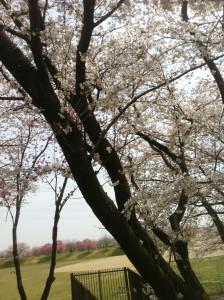 stockvault-cherry-blossom---sakura134654