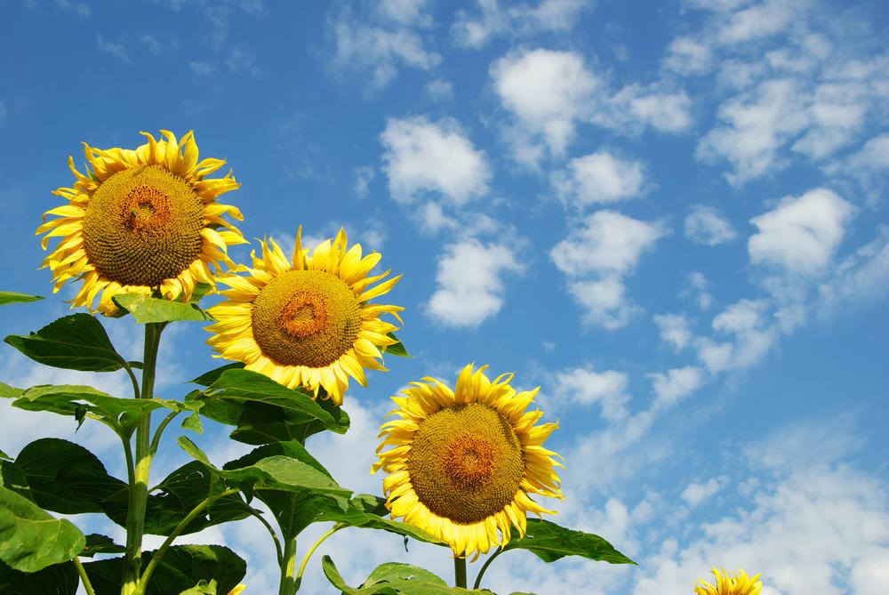 5 sunflowers - FEEL